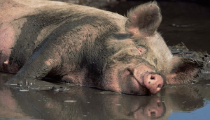 Pig lying in the mud